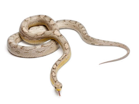 snakes: Ghost mothley Corn Snake or Red Rat Snake, Pantherophis guttatus, in front of white background