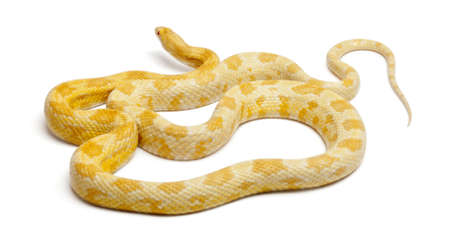 yellow corn: Butter mothley Corn Snake or Red Rat Snake, Pantherophis guttatus, in front of white background