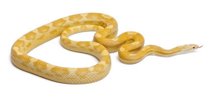 Butter mothley Corn Snake or Red Rat Snake, Pantherophis guttatus, in front of white background photo