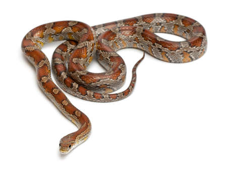 Miami Corn Snake or Red Rat Snake, Pantherophis guttatus, in front of white background photo