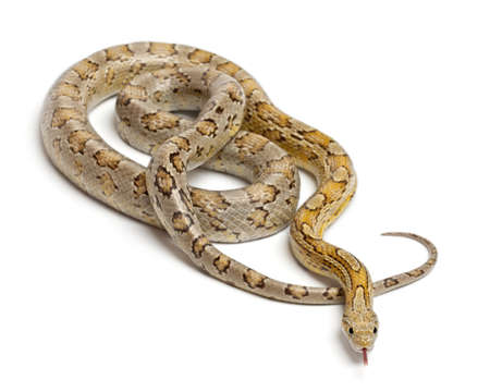 Amber Corn Snake, Pantherophis guttatus, in front of white background photo