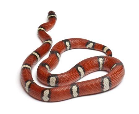 triangulum: Milk snake or milksnake, Lampropeltis triangulum nelsoni, in front of white background