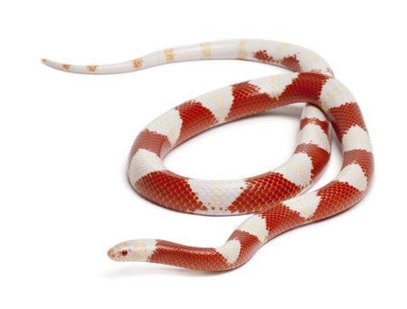 triangulum: Albinos milk snake or milksnake, Lampropeltis triangulum nelsoni, in front of white background