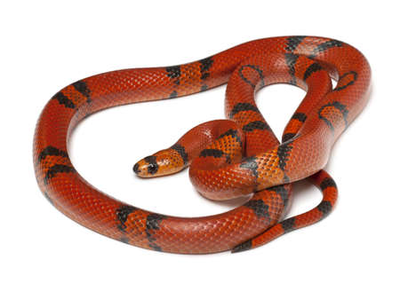 lampropeltis triangulum hondurensis: Hypomelanistique Honduran milk snake, Lampropeltis triangulum hondurensis, in front of white background