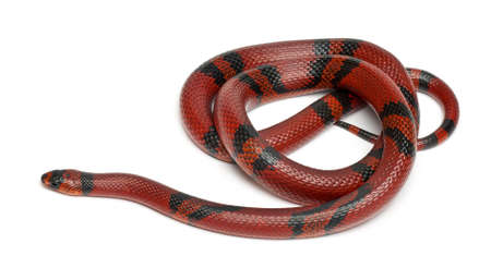 lampropeltis triangulum hondurensis: Tangerine Honduran milk snake, Lampropeltis triangulum hondurensis, in front of white background