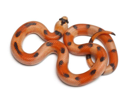 lampropeltis triangulum hondurensis: Tricolor Honduran milk snake, Lampropeltis triangulum hondurensis, in front of white background