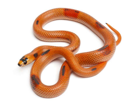 lampropeltis triangulum hondurensis: Tricolor Patternless Honduran milk snake, Lampropeltis triangulum hondurensis, in front of white background