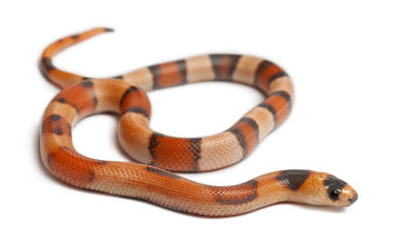 lampropeltis triangulum hondurensis: Tricolor Reverse Honduran milk snake, Lampropeltis triangulum hondurensis, in front of white background