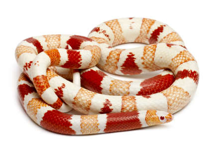 lampropeltis triangulum hondurensis: Albinos Honduran milk snake, Lampropeltis triangulum hondurensis, in front of white background Stock Photo