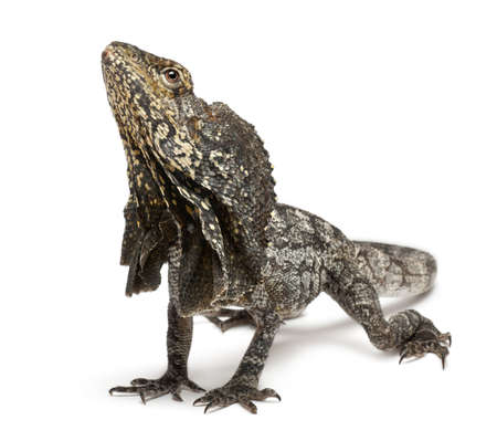 frilled: Frill-necked lizard also known as the frilled lizard, Chlamydosaurus kingii, in front of white background