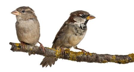 boom met vogels: Mannelijke en Vrouwelijke huismus, Passer domesticus, 4 maanden oud, op een tak in de voorkant van een witte achtergrond