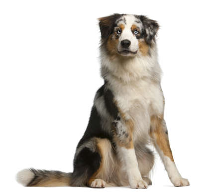 Australian Shepherd dog, 12 months old, sitting in front of white background
