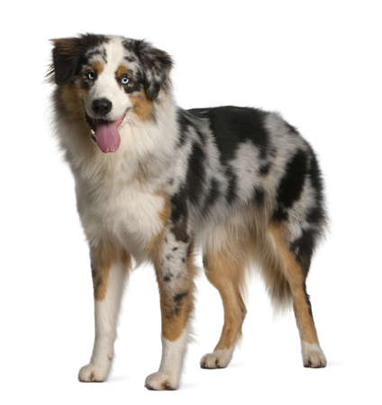 animal tongue: Australian Shepherd dog, 12 mesi di et�, in piedi di fronte a sfondo bianco