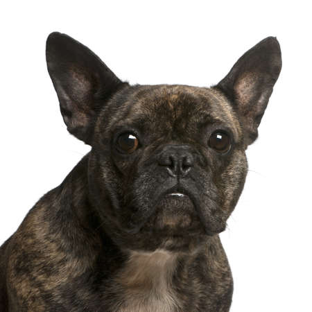 Close-up of French bulldog, 4 years old, in front of white background photo