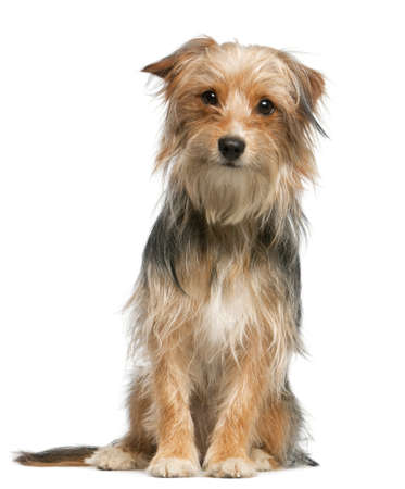 crossbreed: Mixed-breed dog, 12 months old, sitting in front of white background