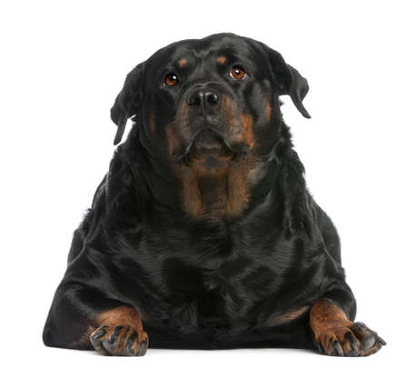 large dog: Fat Rottweiler, 3 years old, lying in front of white background