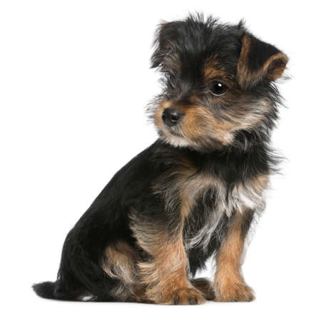 Yorkshire Terrier puppy, 3 months old, sitting in front of white background photo