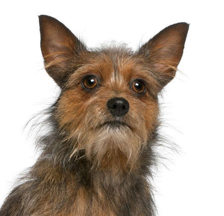 15 months old: Close-up of Mixed-breed dog, 15 months old, in front of white background Stock Photo