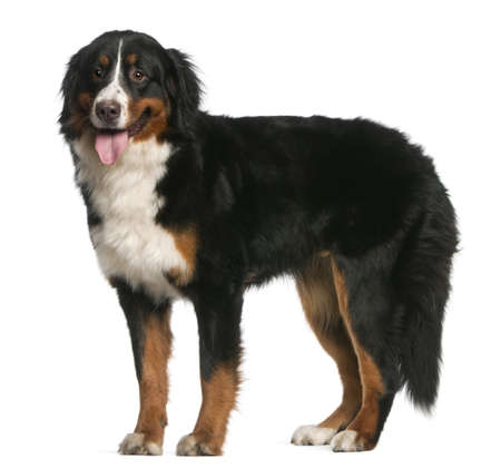 Bernese Mountain Dog, 12 months old, standing and panting in front of white background photo