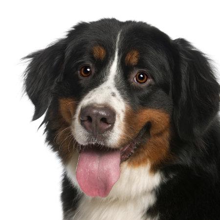 tete chien: Close-up de bouvier bernois, �g� de 12 mois, haletant devant un fond blanc