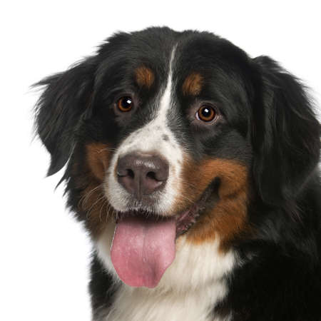 portrait view: Close-up of Bernese Mountain Dog, 12 months old, panting in front of white background