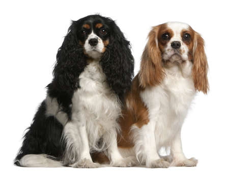 Cavalier King Charles Spaniels, 2 and 3 years old, sitting in front of white background photo