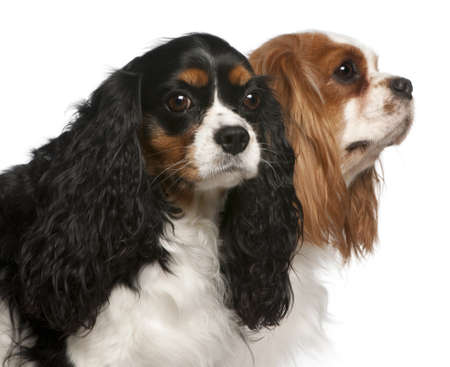 Close-up of Cavalier King Charles Spaniels, 2 and 3 years old, in front of white background Stock Photo - 11568029