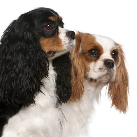 Close-up of Cavalier King Charles Spaniels, 2 and 3 years old, in front of white background photo