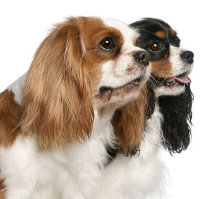 Close-up of Cavalier King Charles Spaniels, 2 and 3 years old, in front of white background Stock Photo - 11567971