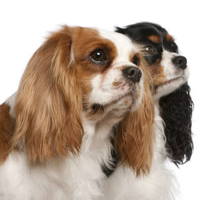 Close-up of Cavalier King Charles Spaniels, 2 and 3 years old, in front of white background Stock Photo - 11567735