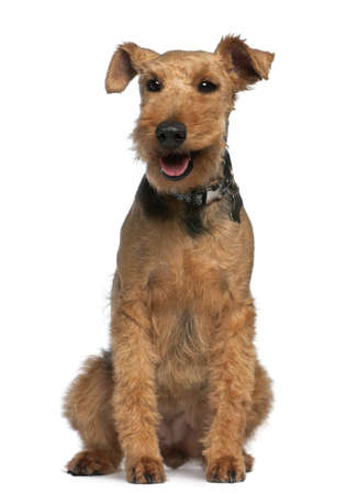 Welsh Terrier, 6 years old, sitting in front of white background