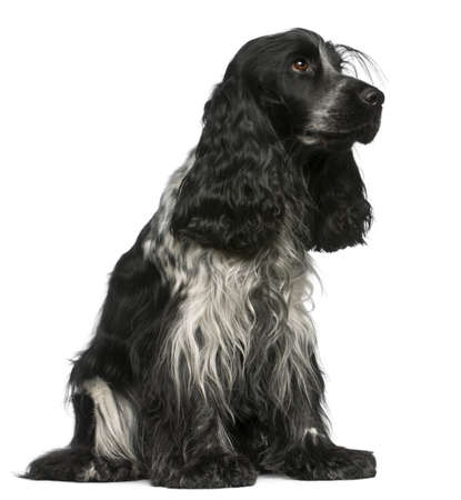 English Cocker Spaniel, 2 and a half years old, sitting in front of white background photo