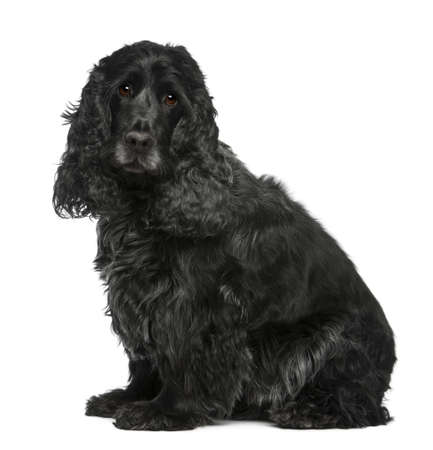 English Cocker Spaniel, 17 months old, sitting in front of white background