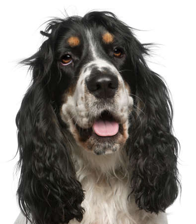 Close-up of English Cocker Spaniel, 6 years old, in front of white background Stock Photo - 11568180