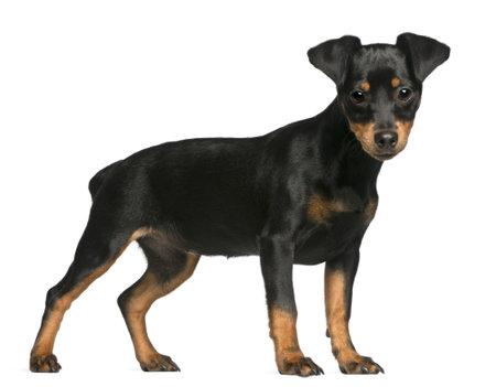 miniature breed: Pinscher miniatura cachorro, 5 meses de edad, de pie delante de fondo blanco