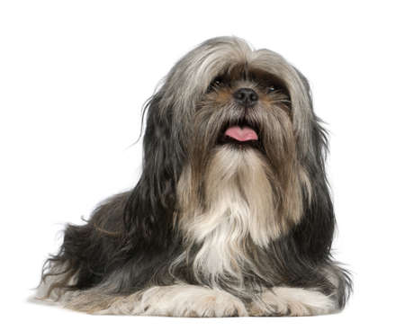 Shih Tzu, 5 years old, lying in front of white background photo