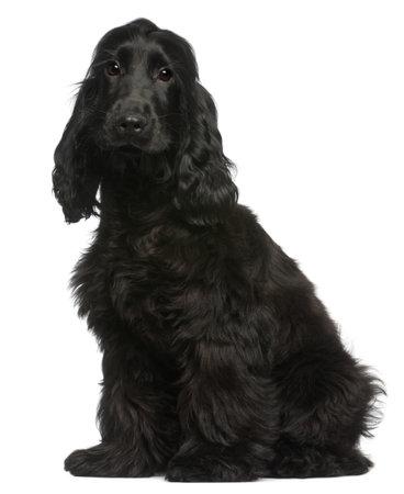 Cachorro Cocker Spaniel Inglés, 5 meses de edad, sentado delante de fondo blanco