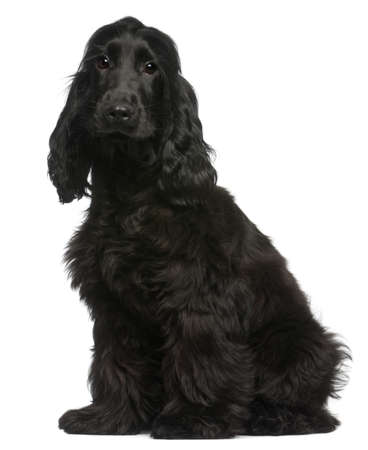 cocker spaniel: English Cocker Spaniel puppy, 5 months old, sitting in front of white background