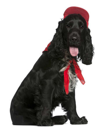 English Cocker Spaniel, 12 months old, wearing red hat in front of white background photo