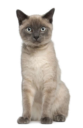 Siamese kitten, 6 months old, sitting in front of white background Stock Photo