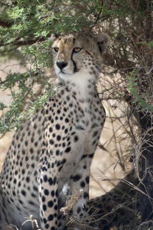 Cheetah, Acinonyx jubatus, in Serengeti National Park, Tanzania, Africa photo