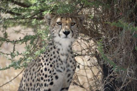Cheetah, Acinonyx jubatus, in Serengeti National Park, Tanzania, Africa photo
