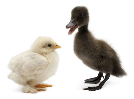 Mallard or wild duck, Anas platyrhynchos, a 3 week old dabbling duck and chick standing in front of white background photo