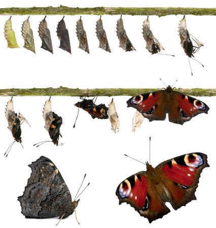 capullo: Compuesto de pavo real mariposa, Inachis io, al salir de su crisálida delante de fondo blanco