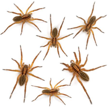 Spider, Pirata piraticus, in front of white background photo
