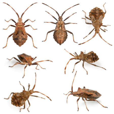 squash bug: Dock bugs, Coreus marginatus, species of squash bug, in front of white background