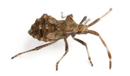squash bug: Dock bug, Coreus marginatus, species of squash bug, in front of white background