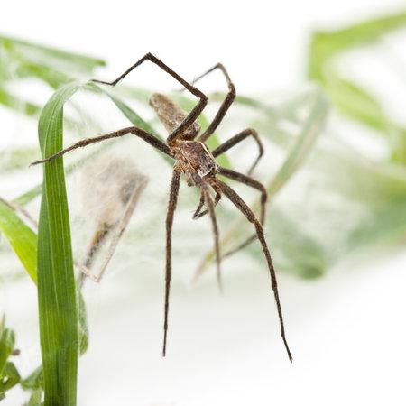 pisaura mirabillis: Nursery web spider, Pisaura mirabillis, with spiderling in nest in front of white background