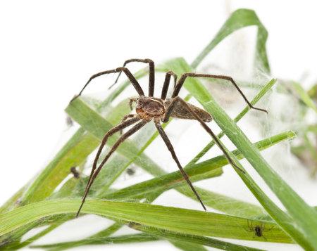 nursery web spider: Nursery web spider, Pisaura mirabillis, with spiderling in nest in front of white background
