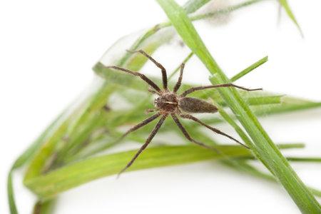 pisaura mirabillis: Nursery web spider, Pisaura mirabillis, on nest in front of white background